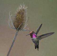 Annau2019s hummingbird, male