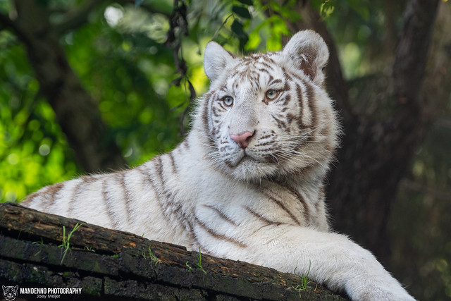 Bengal White Tiger Cub - Zoo Amneville - France