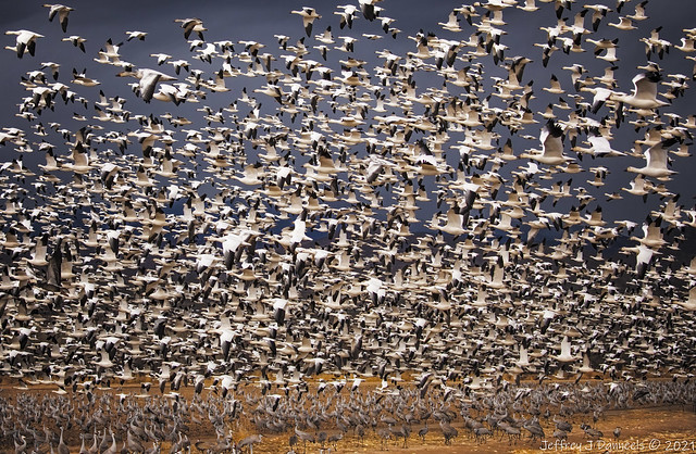 Crane Crane Goose