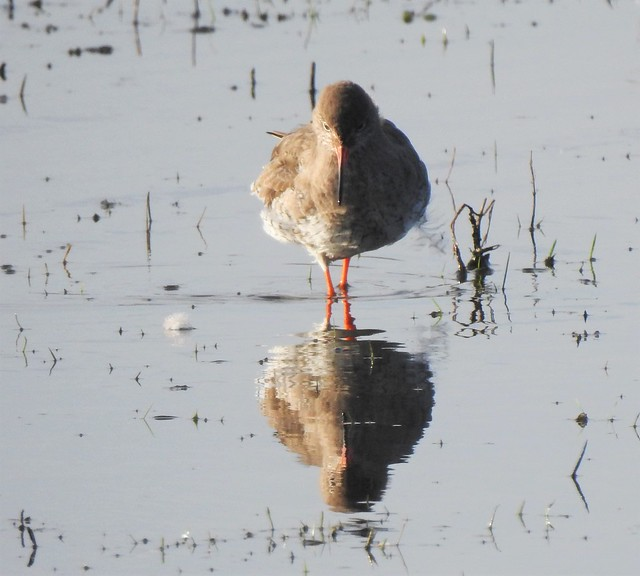 Redshank - Wading into Reflections