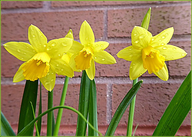 Three Miniature Daffodils ...
