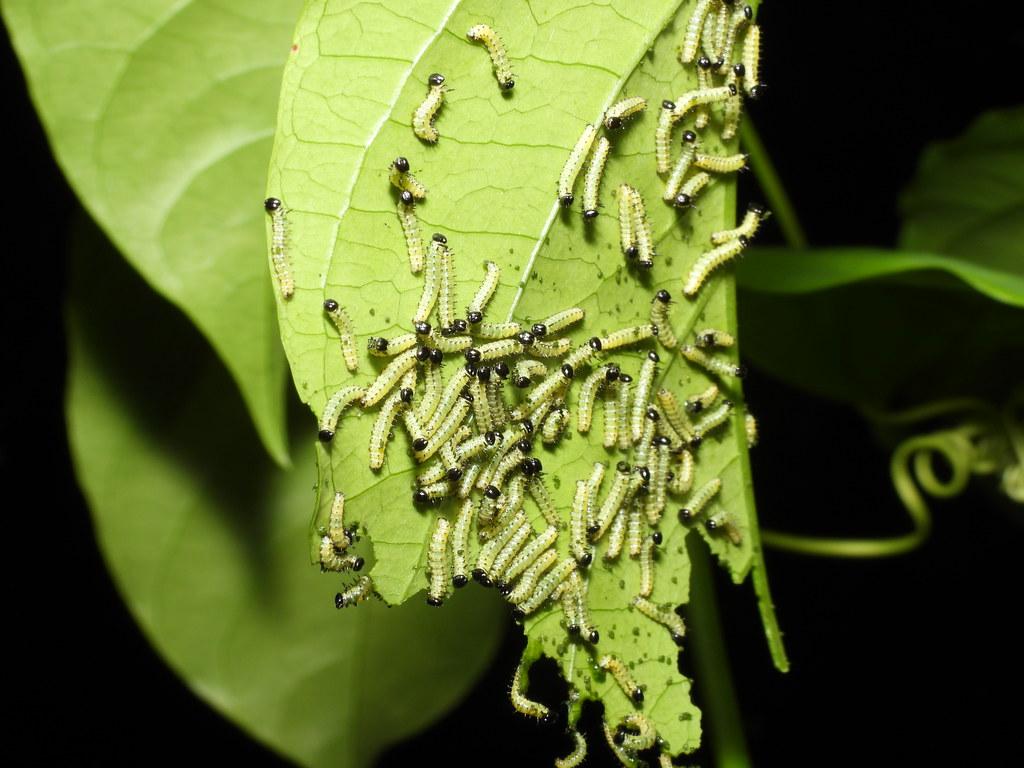 Larvas de Heliconius sp comiendo,Passiflora ambigua Hemsl.
