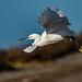 Snowy Egret(Egretta thula)