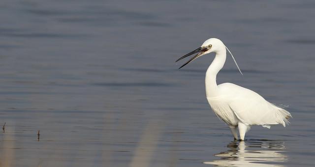 Little egret  (Egretta garzetta) UB2A8911