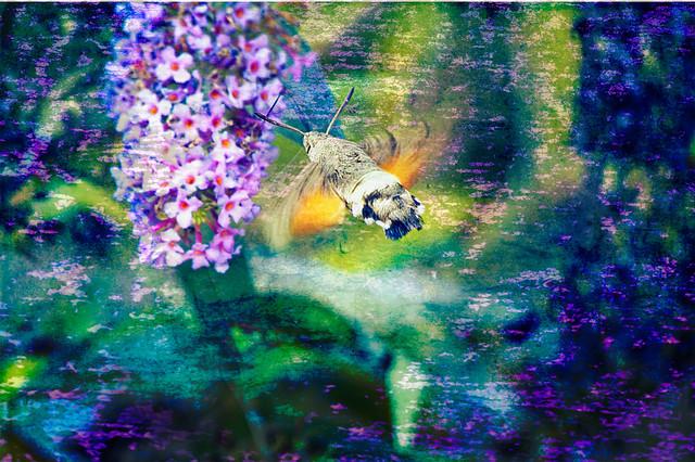 Hummingbird Hawk Moth st