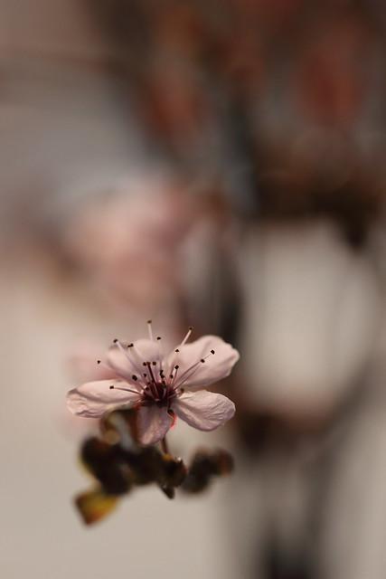 flying prunus