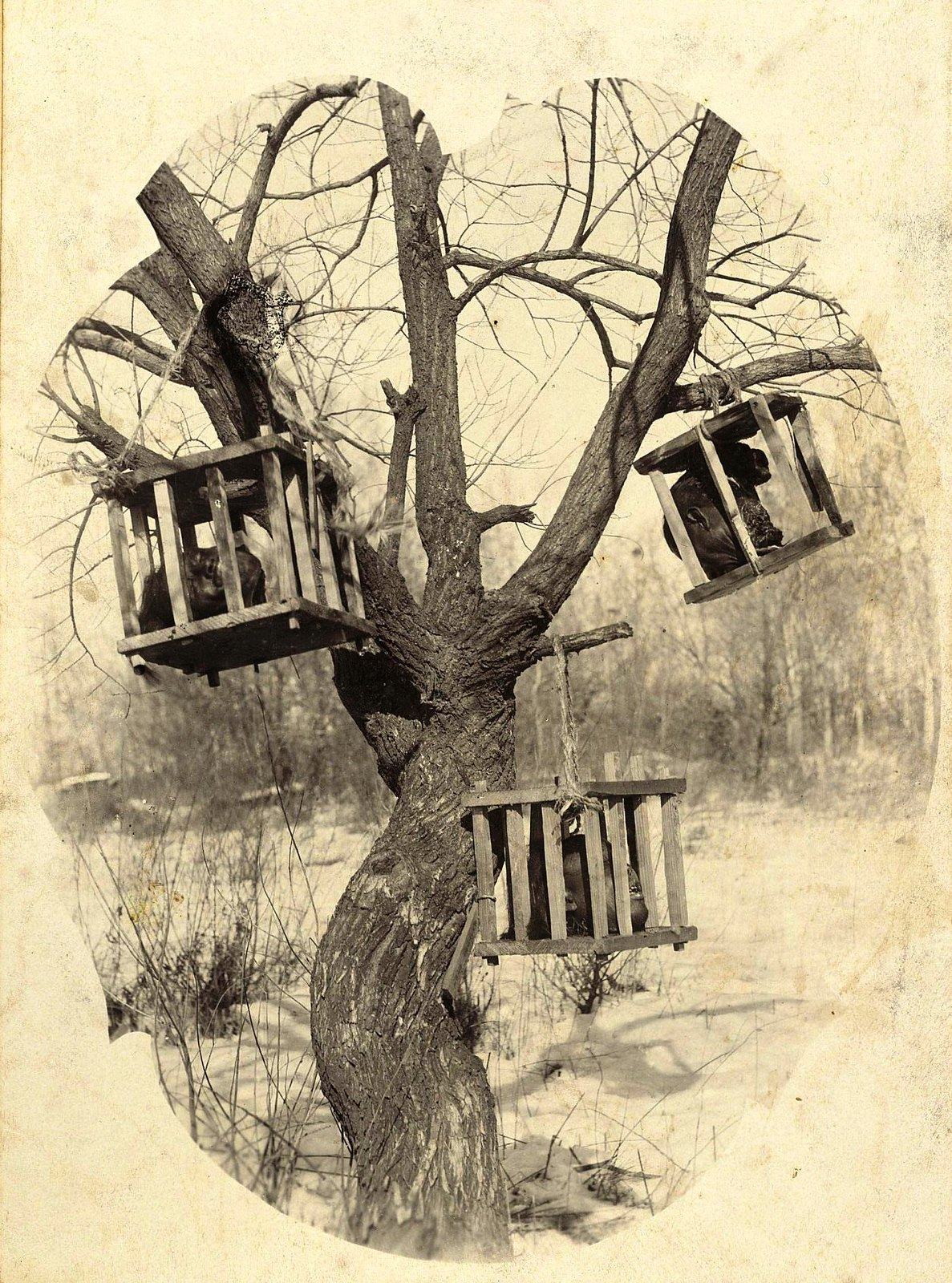 30. Отрубленные головы китайских бандитов-хунхузов, висящие на дереве в деревянных ящиках