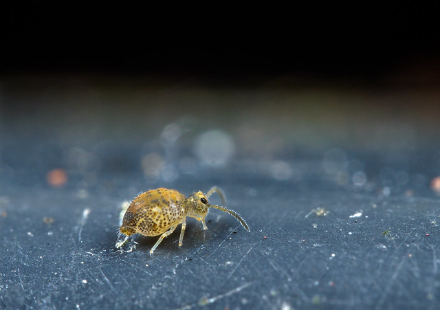 Katiannidae 2