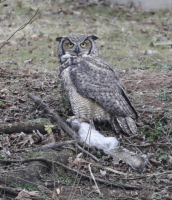A squirrel's demise...got too close to the nest. Only archive shots anymore, The Great horned owl has not returned