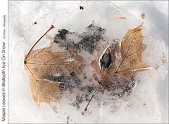 Maple Leaves In Birdbath Ice On Snow