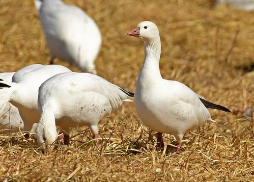 Ross's Goose - Walworth - © Alan Bloom - Mar 19, 2021