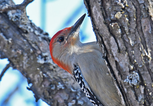 Red-bellied Woodpecker - Mendon Ponds Park - © Dick Horsey - Mar 19, 2021