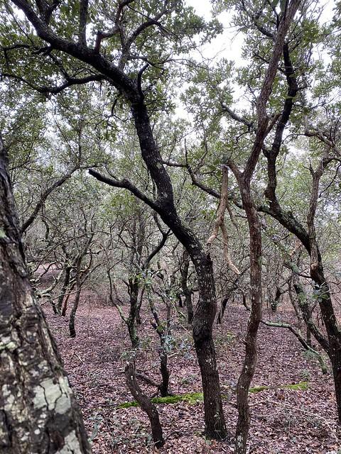 FC False Cape Trees
