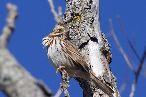 Song Sparrow - Brickyard Trail - © Jeanne Verhulst - Mar 21, 2021