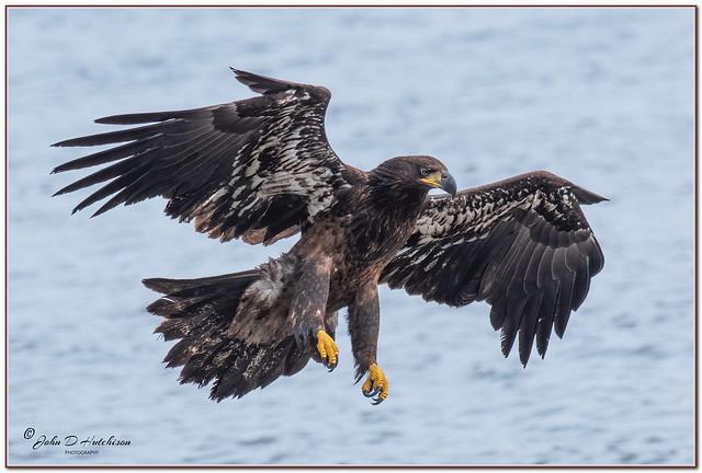 Bald-Eagle-JUVI-2021