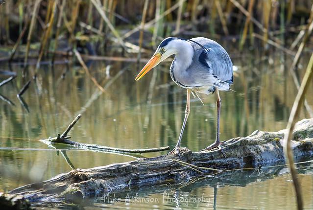 A Hunting Grey Heron