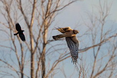 Northern Harrier chased by Red-winged Blackbird