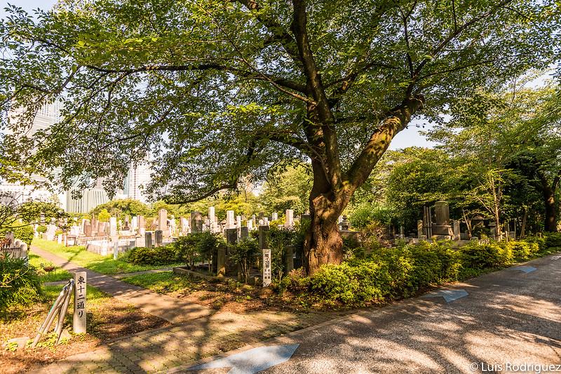 Cerezos en el cementerio de Aoyama