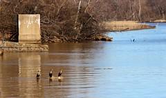 Spring-like day in DC. Cormorants on a log, Anacostia River #birdsofdc #birds #dc #spring