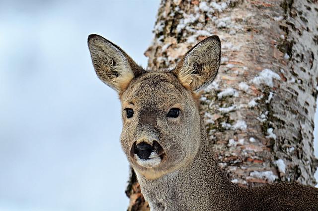 The Last Roe Deer .......of march 2021