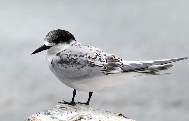 White fronted tern.