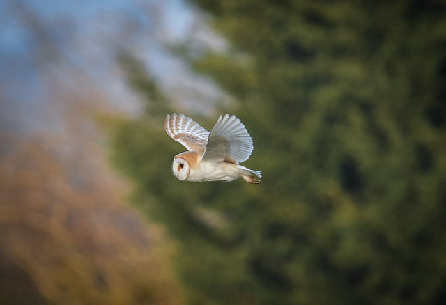 Barn Owl in flight cr (1 of 1)