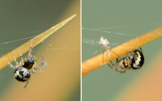 Really tiny spider on a cactus spine
