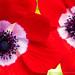 Anemone coronaria, 3.1.21