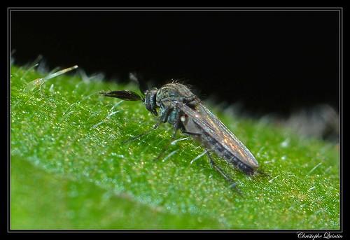 Dasyhelea sp. mâle