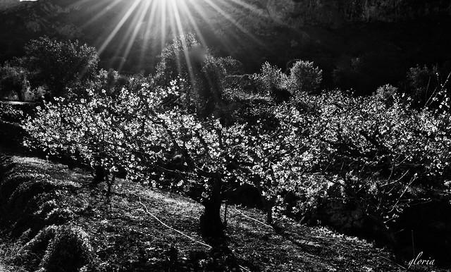 Primeros rayos de luz sobre los cerezos.