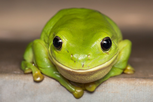 The smiling frog