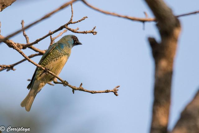 Tangara golondrina, Tersina viridis, Swallow tanager