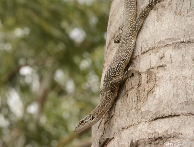 Spotted Tree Monitor (Varanus scalaris). Darwin, NT