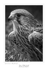 Common Kestrel-8667(1)