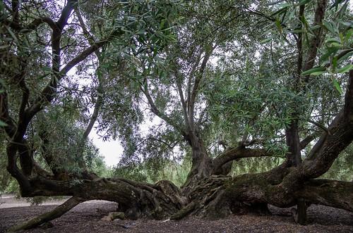 Tronco de un olivo centenario en Martos; en el Llano las Monjas