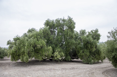 Copa de un olivo centenario en Martos; en el Llano las Monjas