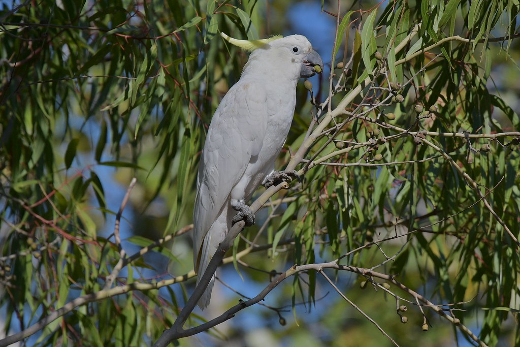 Sulphur-crested Cockatoo ( feeding time )