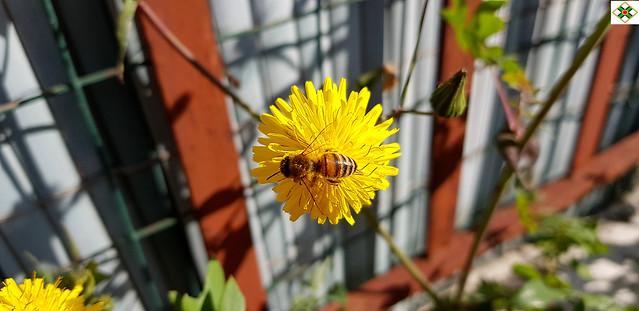 Yellow Doronicum