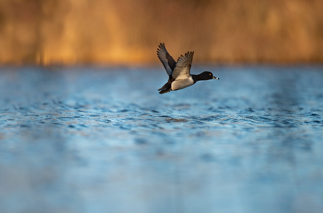 Ring- necked Duck -Aythya collaris