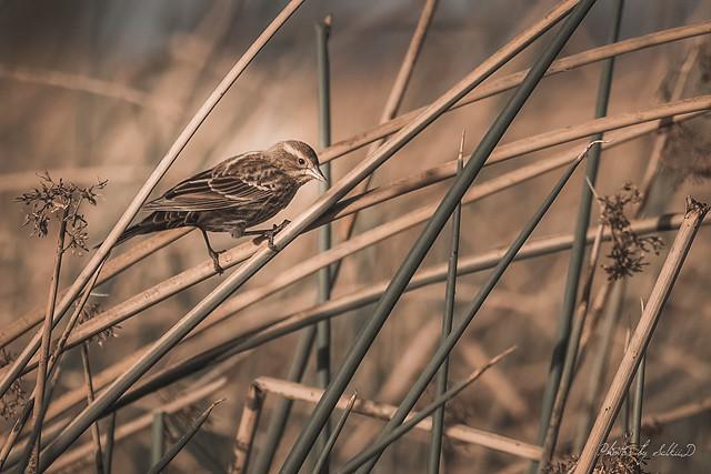 Red-winged Blackbird, Merced NWR