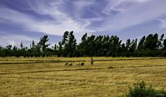 Goat Herd & Goatherd In Rural Punjab Pakistan Dozen Years Ago - IMRAN™