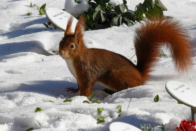 Eichhörnchen / Squirrels   [explored 4.3.2021]