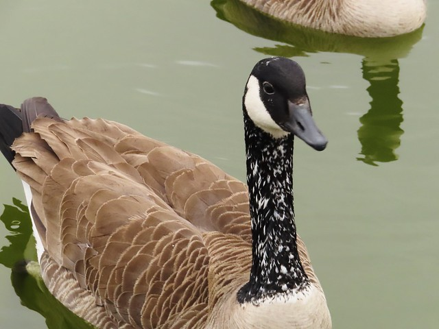 Canada Goose (with unusual color pattern)