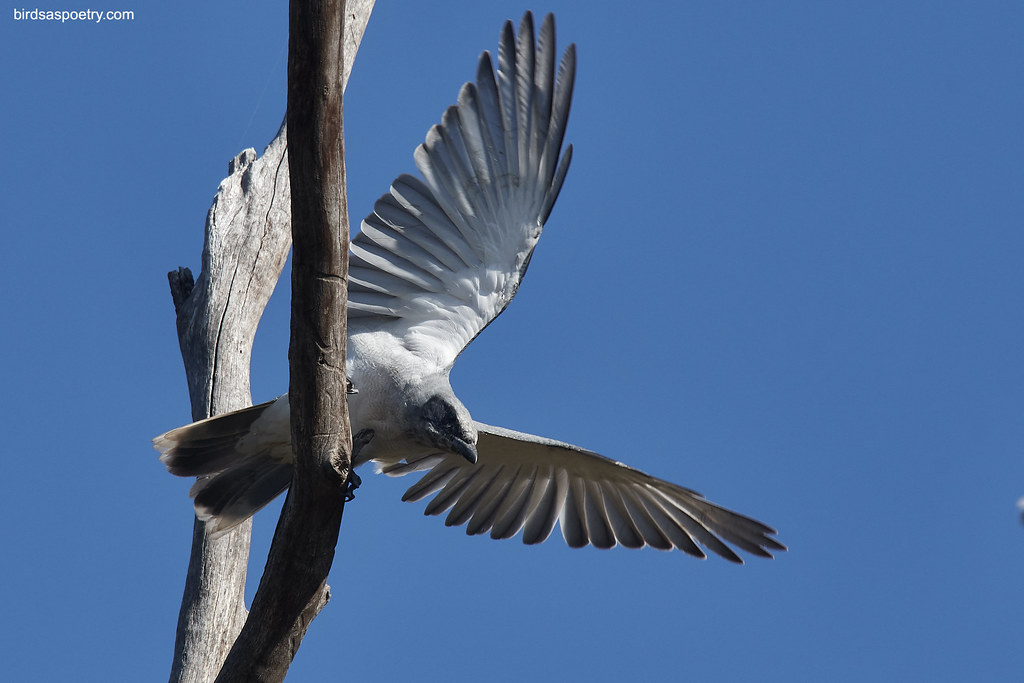 Black-faced Cuckooshrike: Moment of Departure