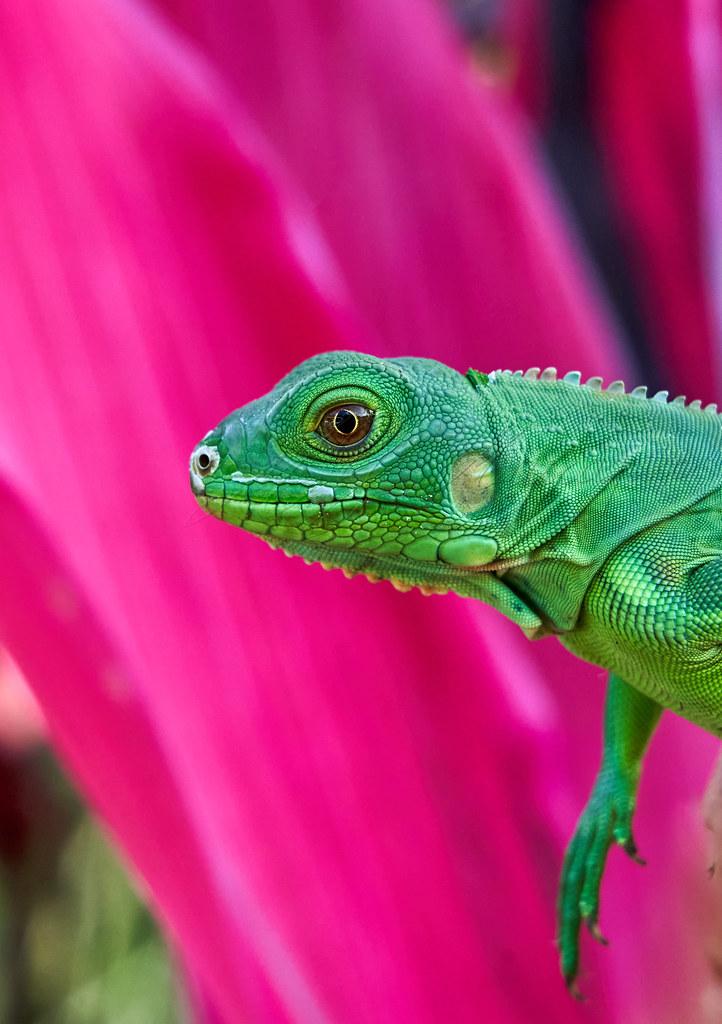 Juvenil iguane iguana