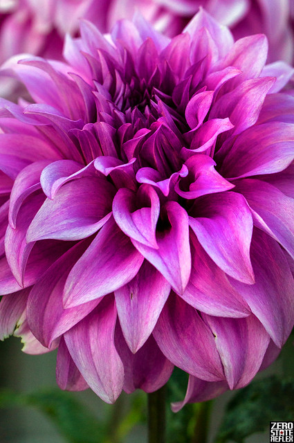 Dahlia_Purple_Flower_Point Defiance Park_Tacoma_PNW