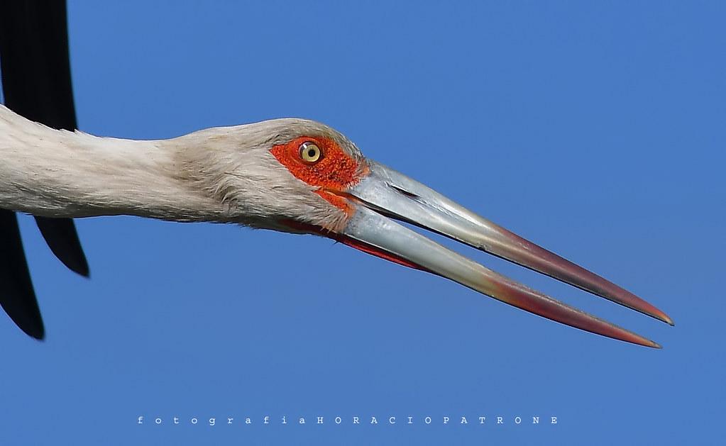 -CIGUEÑA AMERICANA (Ciconia maguari- Maguari stork) Toma en LAGUNA SAN MIGUEL DEL MONTE .prov. BUENOS AIES  -ARGENTINA