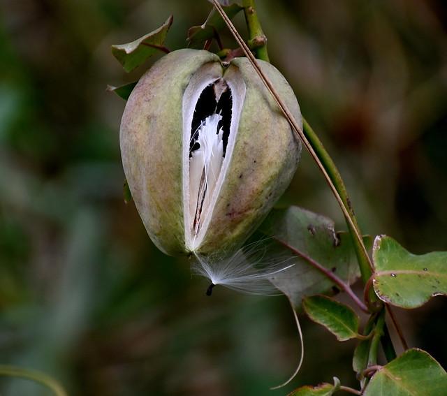 Miraguà fals (Araujia sericifera)