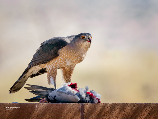 Cooper's Hawk and victim