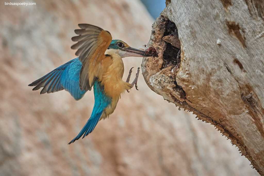 Sacred Kingfisher: Dinner's Up